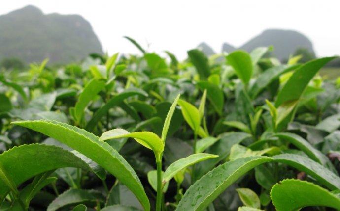 Что входит в химический состав зеленого и черного чая? Чем