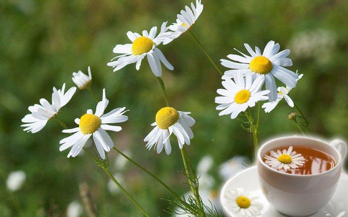 Gardening | Выращивание ромашки аптечной. Польза ромашкового чая