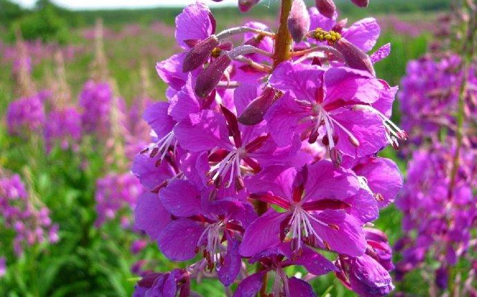 Иван чай, полезные свойства, противопоказания и магия цветка