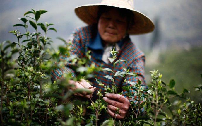 Когда собирают чай: сезонный гид