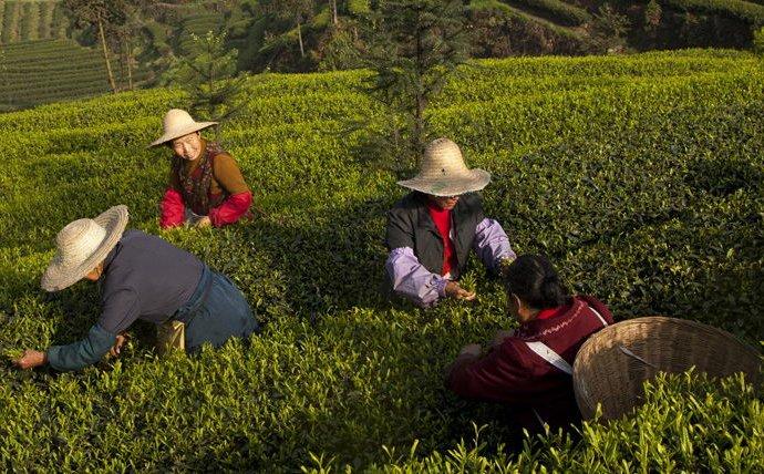 Самый полезный зеленый чай - TeaКуст