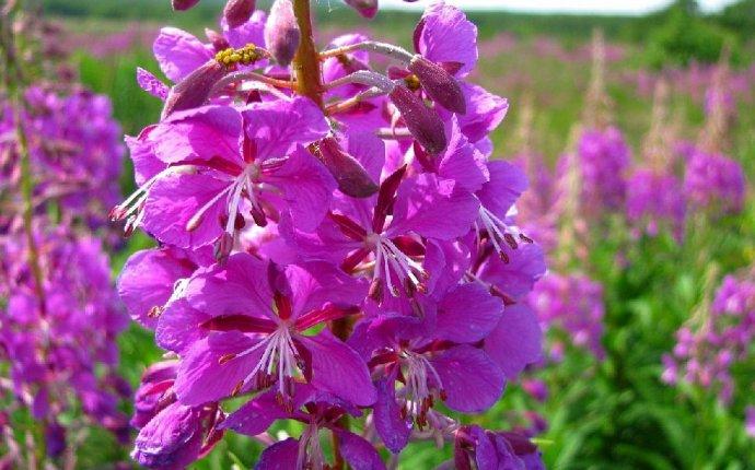 Трава Иван-чай лечебные свойства (20 фото) | Cоветы | webcity.su