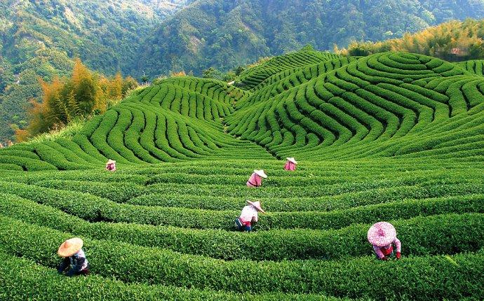 Зеленый чай в косметологии домашней крем - Пурпурный чай Чанг Шу